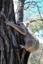 First time I saw a koala in the wild so close. It really couldn't give less damn about the humans congregating around it