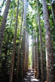 Kauri tree walk