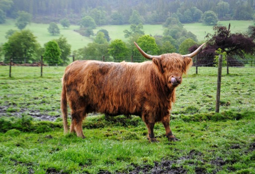 09_highland-cows_DSC_1083
